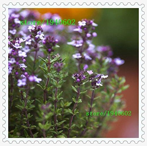 Livraison gratuite 1 sac 100 NON-OGM Jardin Graines Thyme Thymus Vulgaris -Flower Haute Germination