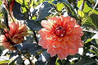 Dalia jardín