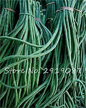 Vente Promotion! 5 Pcs mixte Graines long haricot Très facile d'intérêt Mini Garden Crochet d'or légumes biologiques en santé Graden Plantes 14
