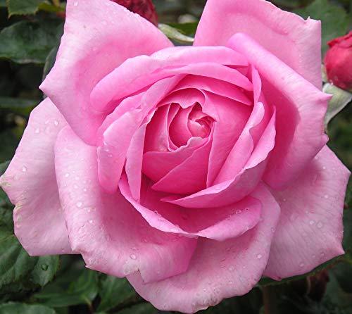 Millie - 5.5lt Potted Hybrid Tea Rose Bush - Highly Fragrant, Large Pink Flowers