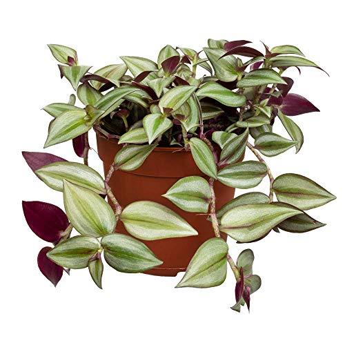 Florado Dreimasterblume, echte Zimmerpflanze, Pflanze, Ampelpflanze, Topfgröße 12cm