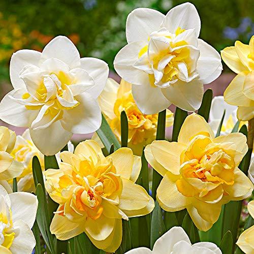 15x Narcissus | Gefüllte Narzissenzwiebeln | Gemischte gelb-weiße Blüten | Frühblühende Zwiebeln | Mehrjährig blühende Pflanzen | Ø 12-14cm