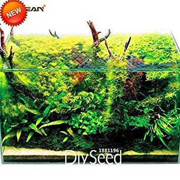 VISTARIC Avoir une grande vitalité Dichondra Repens Graines 100pcs, Mercury Bay graines de mauvaises herbes Excellent herbe, largement Adaptabilité graines de mauvaises herbes de rein