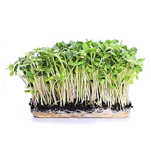 1 Lb Pouch Organic Non-GMO Black Oil Sunflower Microgreens Seeds and Sprouting Seeds (Shell On) - Edible Sun Flower Micro Green Seeds, Organic Sprout Seeds, Seeds for Sprouting, and Sprout Mix