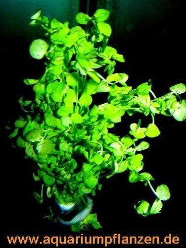 3 Bunde Perlkraut, Vordergrundpflanzen Aquarium