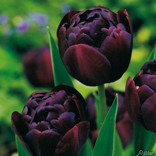 Tulpenzwiebeln Black Hero Dunkelrot-Schwarz - Blumenzwiebeln, mehrjährig & robust- Späte Tulpe Black Hero - 5 Tulpen-Zwiebeln von Garten Schlüter - Pflanzen in Top Qualität