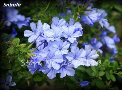 Belle Bonsai blanc Saxifraga Seeds « Neige de printemps » Fleur de vivaces les plus populaires Jardin Nature Plantes à effet de serre 120 Pcs 10