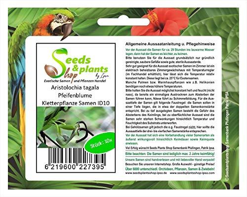 Stk - 10x Aristolochia tagala Pfeifenblume Kletterpflanze Samen ID10 - Seeds Plants Shop Samenbank Pfullingen Patrik Ipsa