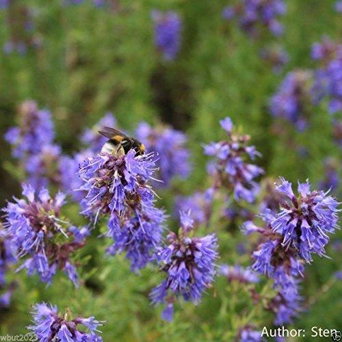1000 HERB Hyssop Seeds (Hyssopus officinalis) Perennial,Mediterranean Herb