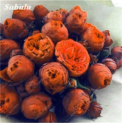 Chinese National Flower 5 graines Pcs Pivoine Plante en pot Paeonia suffruticosa Arbre Terrasse Cour Illuminez votre jardin personnel 21
