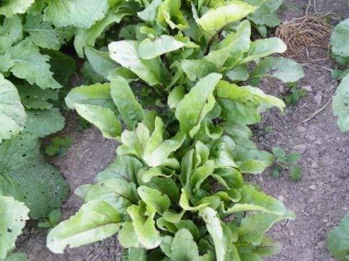 Frais Heirloom Detroit rouge foncé betterave non-OGM - 500 graines - Sucré - santé Verts - légumes