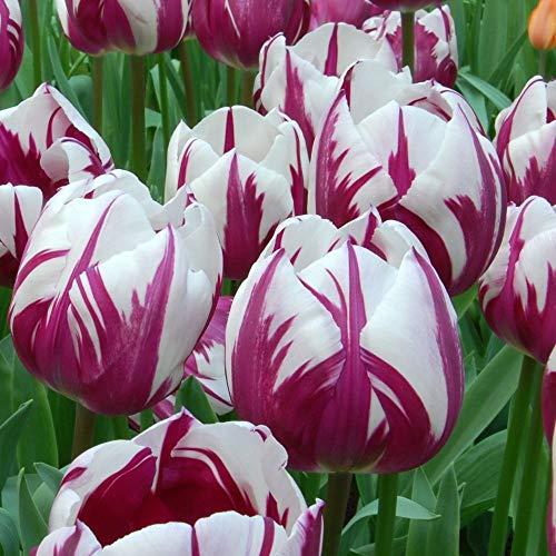 Tulipani bulbi olandesi,Nobile,Molto delicato,Colori vivaci,adatta per la semina domestica-2,7Bulbis