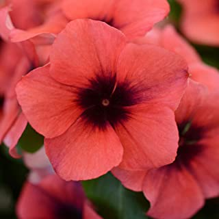 2052c7868 Outsidepride Vinca Tattoo Papaya Flower Seed - 50 Seeds