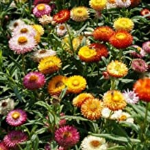 Tom Thumb Dwarf Helichrysum Bracteatum Flower Seeds for Home and Garden #PLT