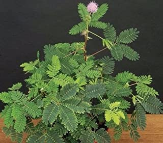 'SENSITIVE PLANT' MIMOSA PUDICA - 2 1/4