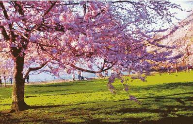 Romantisches Kreuzstichset unter dem Kirschblütenbaum Nadelzahl Stickerei Handwerk 11CT DIY Kunst handgemachte Heimtextilien 40x50cm