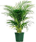 AMERICAN PLANT EXCHANGE Areca Palm Live Plant Indoor Outdoor Air Purifier, 6' Pot 16-20' Tall, Vibrant Green