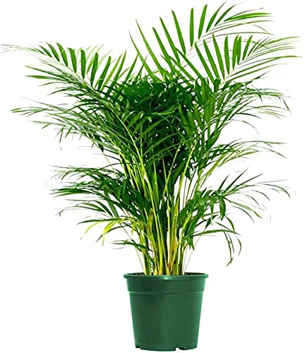 AMERICAN PLANT EXCHANGE Areca Palm Live Plant Indoor Outdoor Air Purifier, 6' Pot 16-20' Tall,...