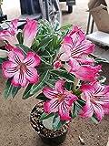 Rosa del desierto planta,El balcón es precioso e impresionante.Flor floreciente muchos colores especies raras-1,1bulbos