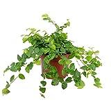 Kletter-Feige grün - Ficus pumila - Höhe ca. 15 cm,...