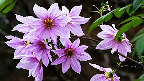 Fangblatt - Dahlia imperialis - Baumdahlie - gut gewachsene Wurzelknolle ca. 20 cm der Riesendahlie - erreicht eine Höhe von ca. 5 Meter - eine sehr schöne Dahlie für den Garten