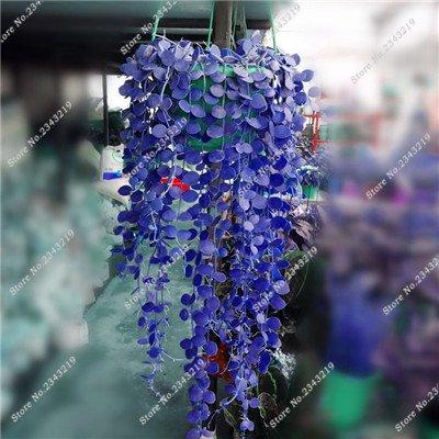 Plantes grimpantes des semences rares Parthenocissus tricuspidata semences jardin plantes ornementales Four Seasons Flower 60 Pcs / sac 13