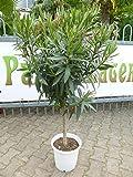 [Palmenlager] - Oleander 140 cm -Hochstamm -ROSA - Nerium oleander - mediterrane Pflanze (Rosa)