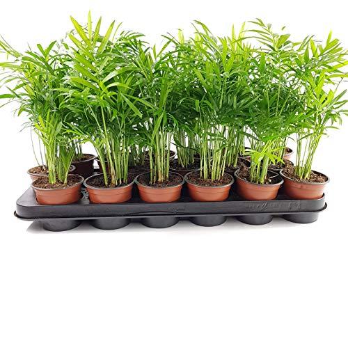 ✔️ Areca-Palme Goldfruchtpalme ✔️ 3 Stück Topfgröße 9 cm - A1 Qualität ✔️