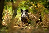 Poster 90 x 60 cm: Wildschwein im Laubwald von David
