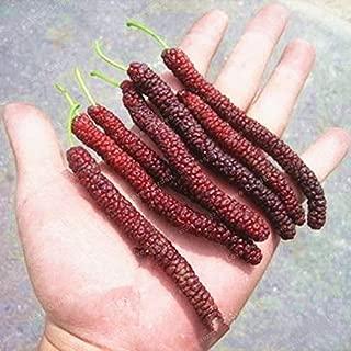 WANCHEN 100 Pcs Long Mulberry Bonsai Rare Mulberry Tree Exotic Plant Pakistan Fruit Bonsai Large Super Sweet Non-GMO Food for Garden (Seeds not Plants)