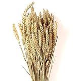 Trockenblumen Weizen getrocknete Getreide ca. 90 Stängel Blumen Trockenstrauß 60 cm lang