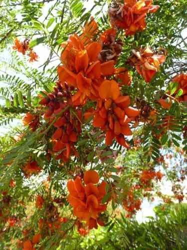 TROPICA - Flamboyant de Hyères (Sesbania puniceus) - 5 graines- Méditerranée
