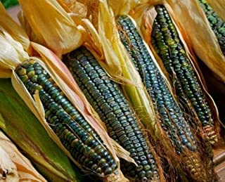 Organic Oaxacan Green Corn Seed - Heirloom Zapotec Dent Maize Seeds (¼oz to 4oz) - [0.5 Ounce (~45)]