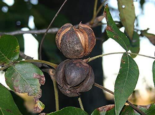 Schuppenrinden Hickorynuss Carya ovata Pflanze 5-10cm Shagbark Hickory Rarität