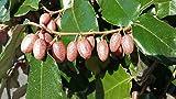 Evergreen Silverberry Elaeagnus ebbingei Shrub - 10-15cm Seedling Fragrant Flowers, Edible Fruits