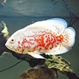 Albino Tiger Oscar Cichlid 2' Live Tropical Fish...