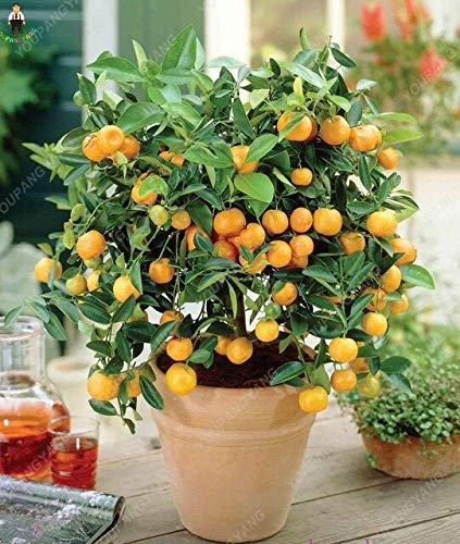 20 PC-Bonsai orange Mini Balkon Terrasse Topf China Klettern PlantsTree Frische Tasty saftige Frucht Pflanz Bonsais: Grün