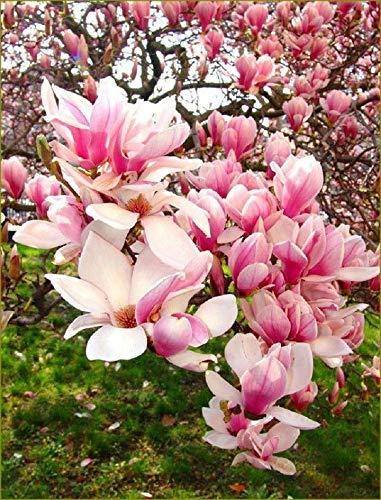 5 Hellrosa weiße Magnolien-Samen-Lilien-Blumen-Baum-Fragrant Magnol liliiflora