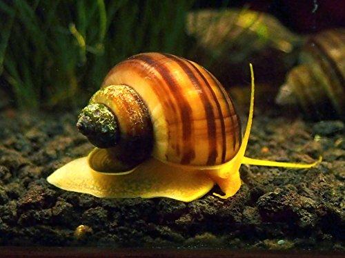 Aquatic Arts 10 B-Grade Mystery Snail Combo Pack | Algae Cleaner | Aquarium Background Accessories | Safe in Freshwater Tetra / Guppy / Betta Fish Tank