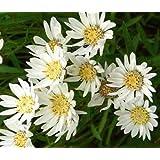 アスターホワイトアップランドアスターPtarmicoides - 千個の一括種子