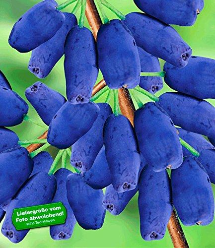 BALDUR-Garten Maibeeren® 'Amur®', 1 Pflanze, Lonicera kamtschatica