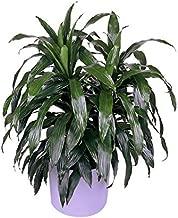 PlantVine Dracaena Fragrans 'Janet Craig', Dracaena deremensis 'Janet Craig' - Large - Large, Cane - 8-10 Inch Pot (3 Gallon), Live Indoor Plant
