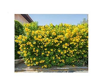 texas yellow bells