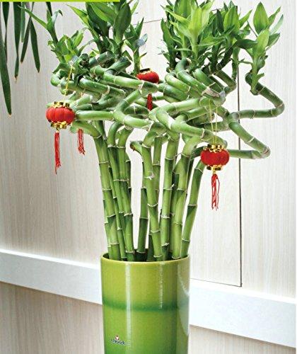 50pcs / lot Asparagus setaceus Graines maison petites graines graines de bambou chance de bambou pour la maison fleurs des plantes en pot planteurs