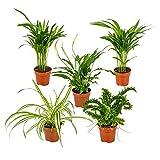 Mélange de 5 plantes d'intérieur dépolluantes   Chlorophytum 2x, Asplenium, Spathiphyllum, Nephrolepis ⌀12 cm -...