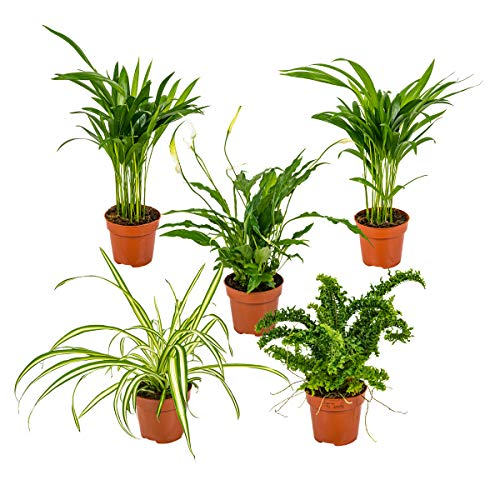 Mischung aus 5 luftreinigenden Zimmerpflanzen Chlorophytum 2x, Asplenium, Spathiphyllum, Nephrolepis ~ 12 cm - ~ 35 cm