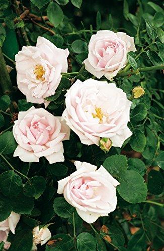 Kletterrose New Dawn in Hell-Rosa - Kletter-Rose winterhart & duftend - Pflanze für Rankhilfe wurzelnackt/Wurzelware von Garten Schlüter - Pflanzen in Top Qualität