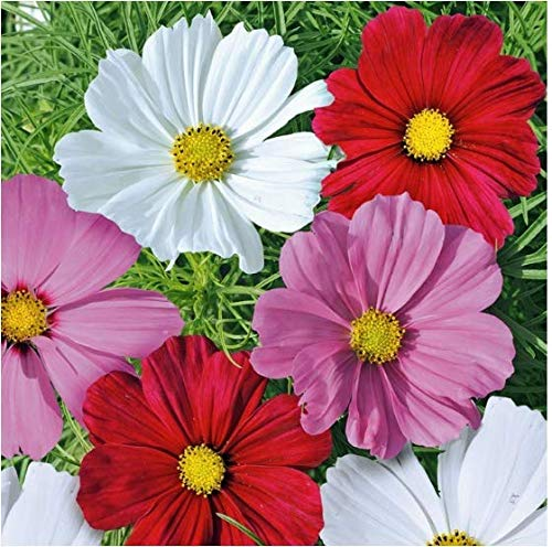 Qulista Samenhaus - 100pcs Cosmea 'Sensation' Mischung Blumensamen Mischung winterhart als Hintergrundpflanze in Rabatten und Betten