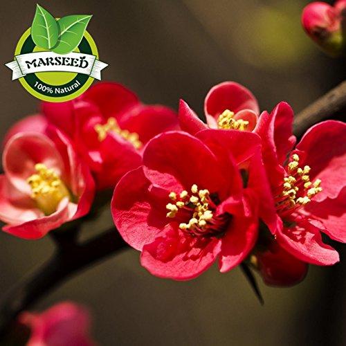 jardin de vivaces de 35 Pcs Begonia Graines de fleurs mixtes floraison quatre saisons usine emballage d'origine