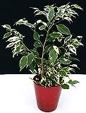 ficus benjamin variegato in vaso ceramica rosso, pianta vera
